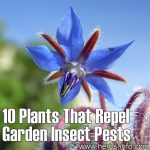 10 Plants That Repel Garden Insect Pests