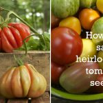 How To Save Your Own Heirloom Tomato Seeds