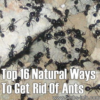 top 16 natural ways to get rid of ants herbs info. Black Bedroom Furniture Sets. Home Design Ideas