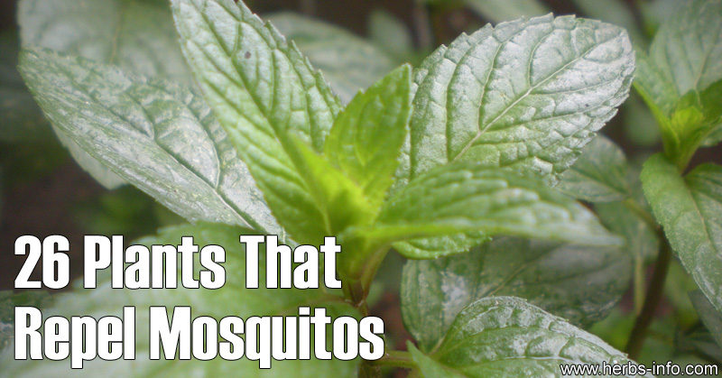 26 Plants That Repel Mosquitos Herbs Info