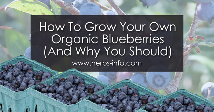 How To Grow Your Own Organic Blueberries And Why You Should