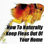 Natural Ways To Keep Fleas out Of Your Home