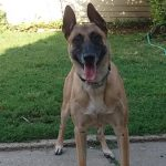 Researchers Have Just Discovered That Belgian Malinois Dogs Can Sniff Out Cancer