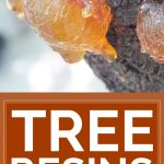 Tree Resins – An Amazing Yet Forgotten Natural Remedy