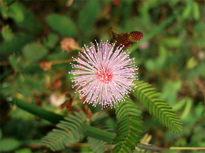 Bashful Mimosa