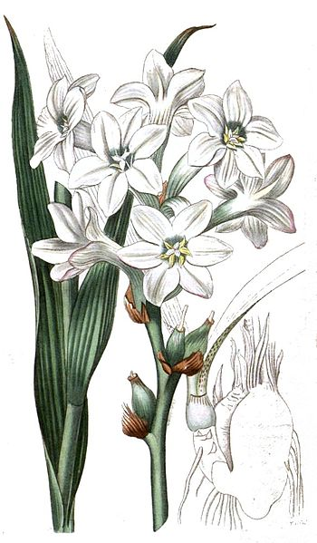 Polianthes tuberosa