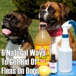 6 Natural Ways To Ged Rid Of Fleas On Dogs