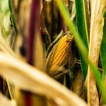 The Shocking Story Of Transgenic Crops In Argentina