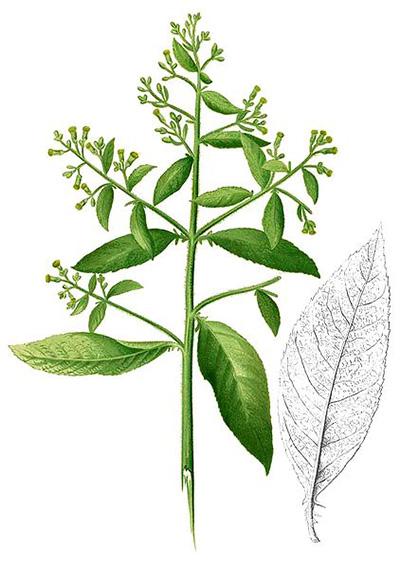 Blumea Camphor