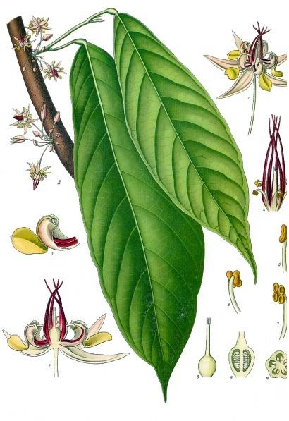 Cacao (Leaf, Flower)