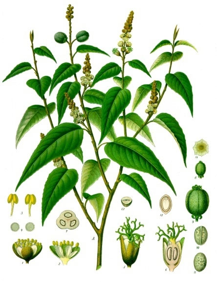 Croton eluteria