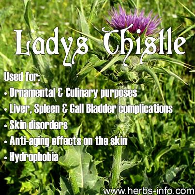 Lady's Thistle