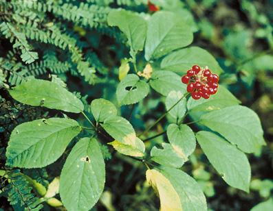 Ginseng (Panax quinquefolius)